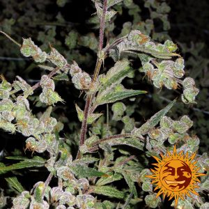 Dr Grinspoon Seeds